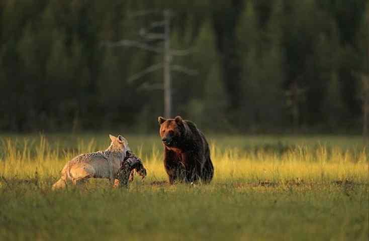 urso e lobos amigos