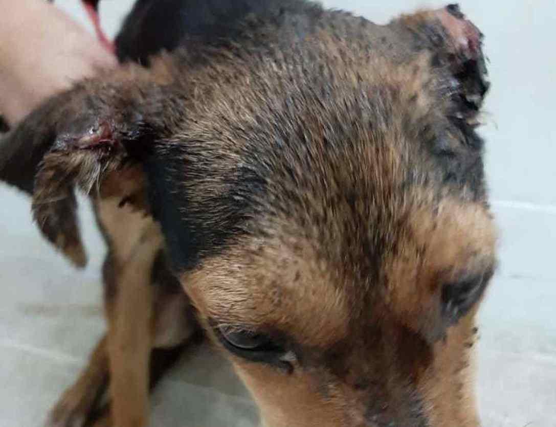 cadela teve orelha decepada