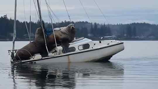 leões marinhos descansa em barco