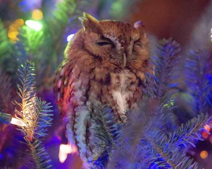 coruja na árvore de natal