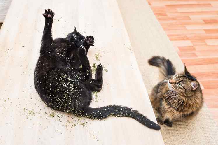 gatos doidos com erva