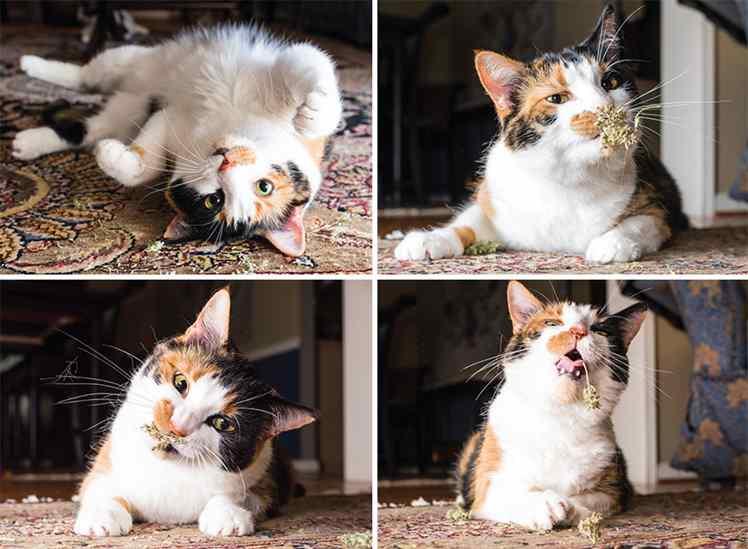 o que é erva de gato