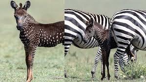 Rara zebra com bolinhas em vez de listras nasceu no Quênia