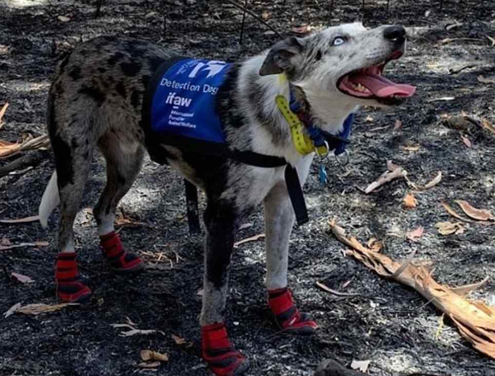 cão treinado para salvar coalas