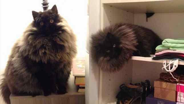 gato enorme adotado