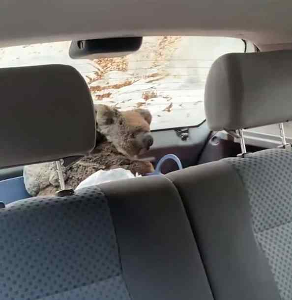 Adolescentes salvam coalas
