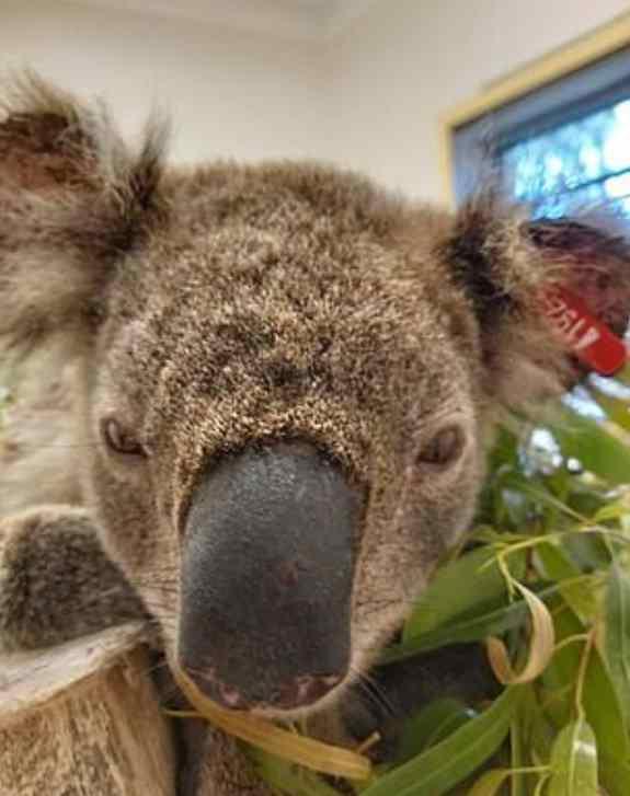 coala salvo por cão