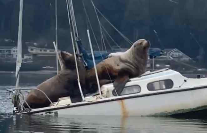 leões marinhos em barco