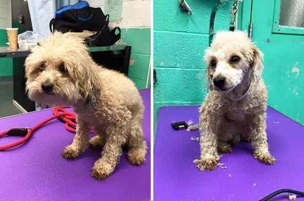 tosador profissional ajuda cães de abrigo