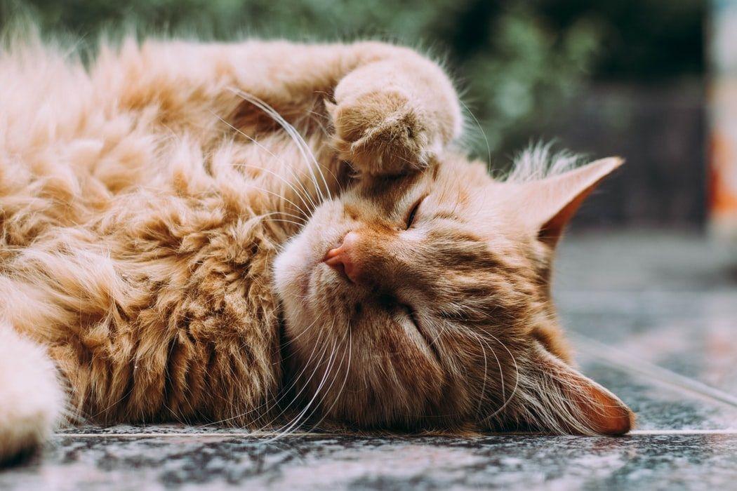 Ronronar dos gatos faz bem à saúde