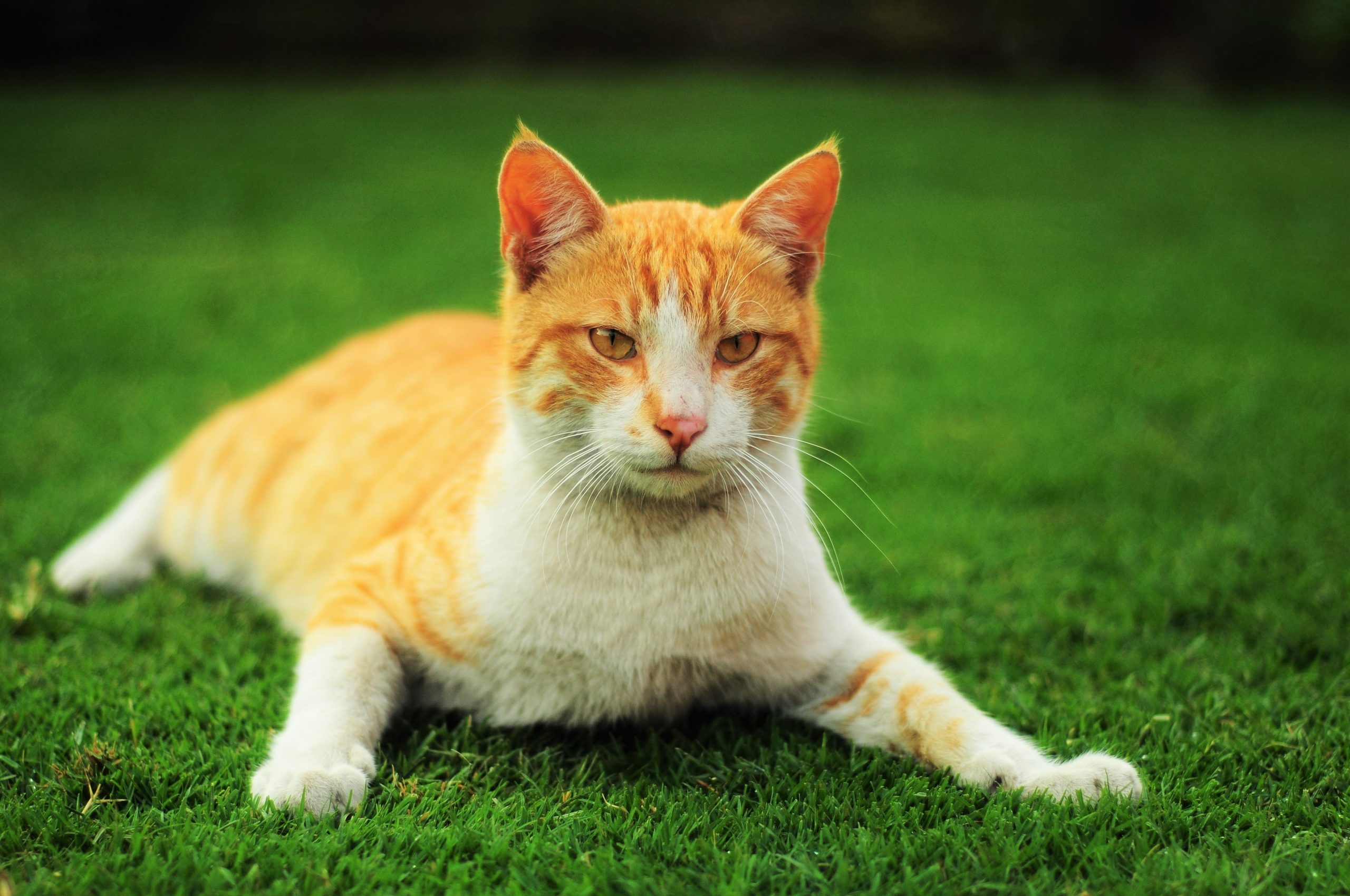 Afinal, por que gatos comem grama?