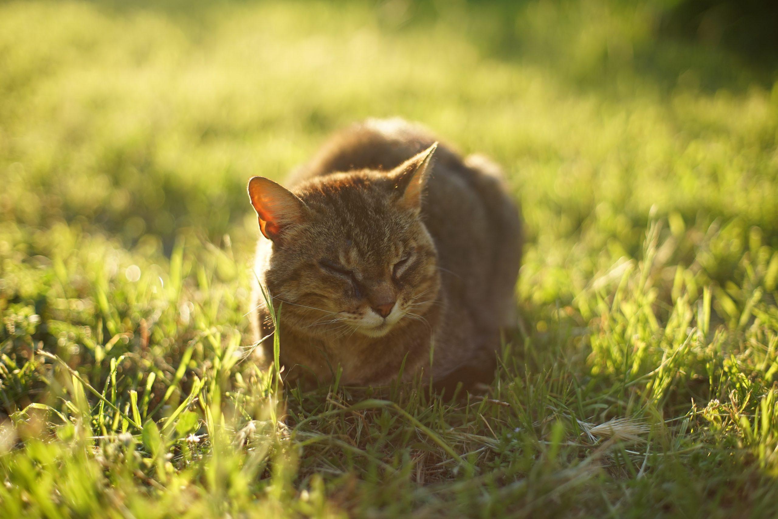 por que gatos comem mato