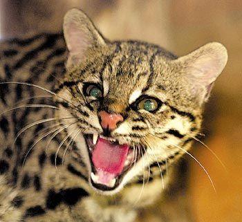 gato do mato tamanho