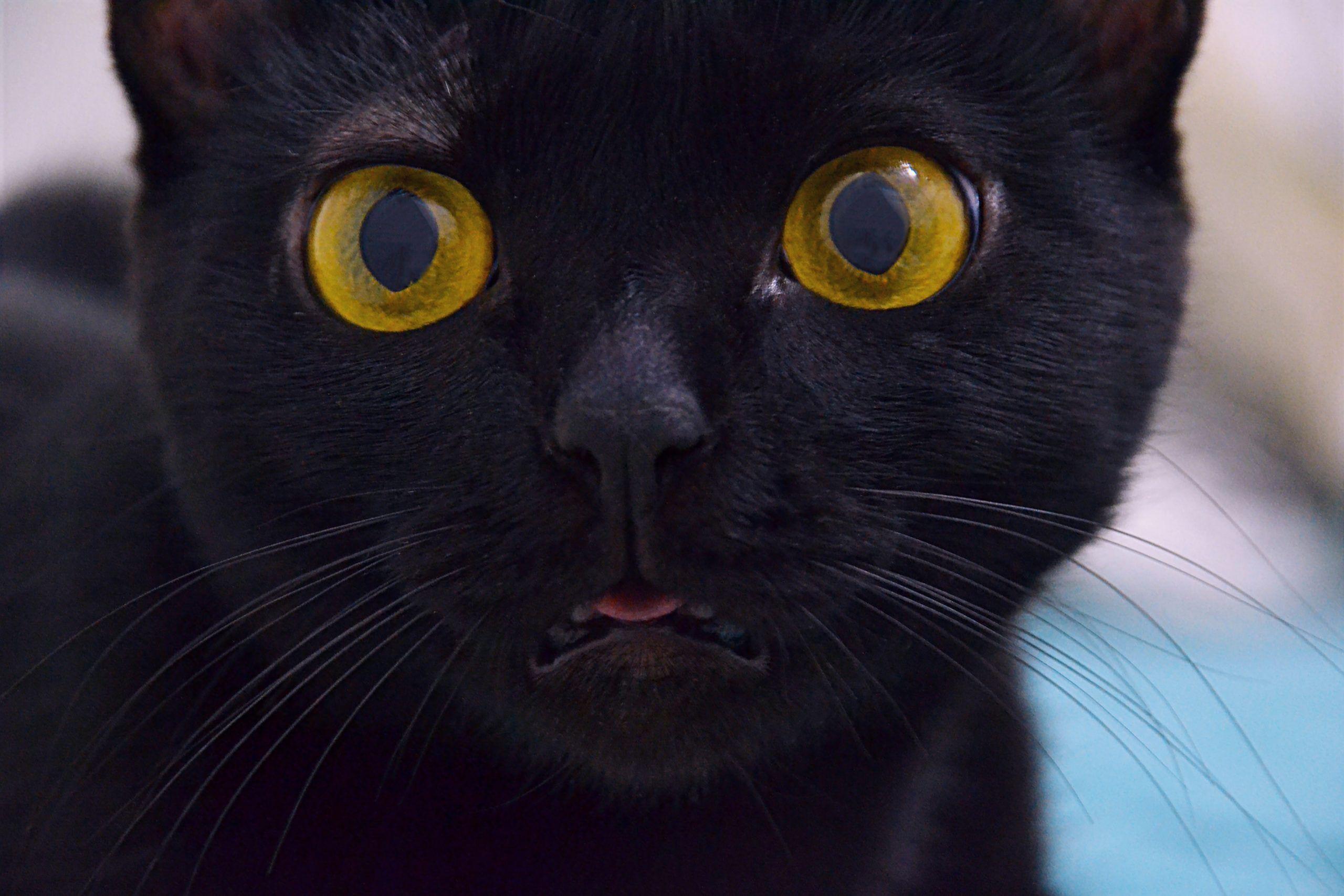 Quantas raças de gatos pretos existem?