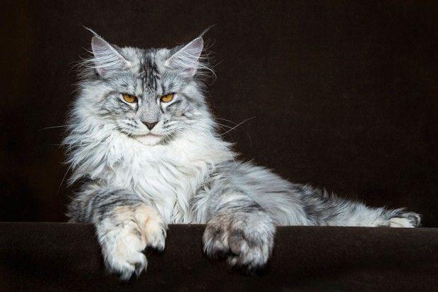 Tamanho do gato maine coon
