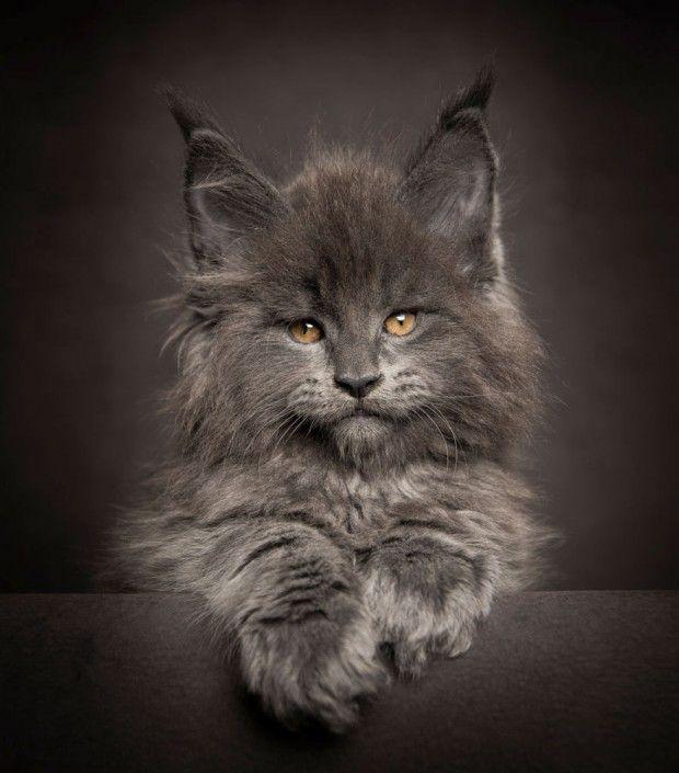 Fotos de gatos maine coon