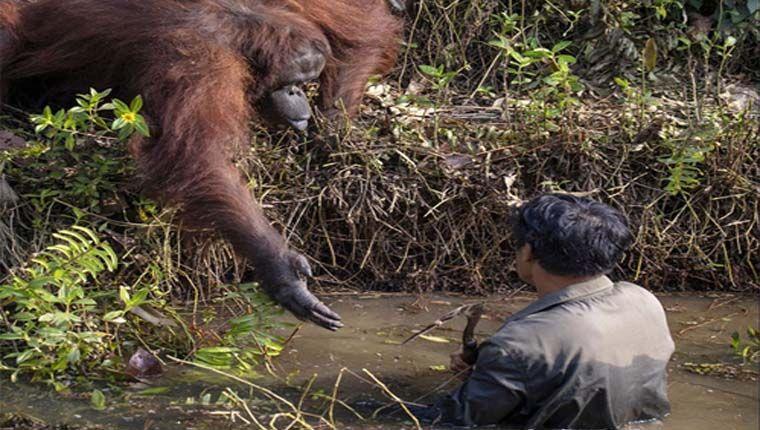 orangotango ajuda homem a sair de rio