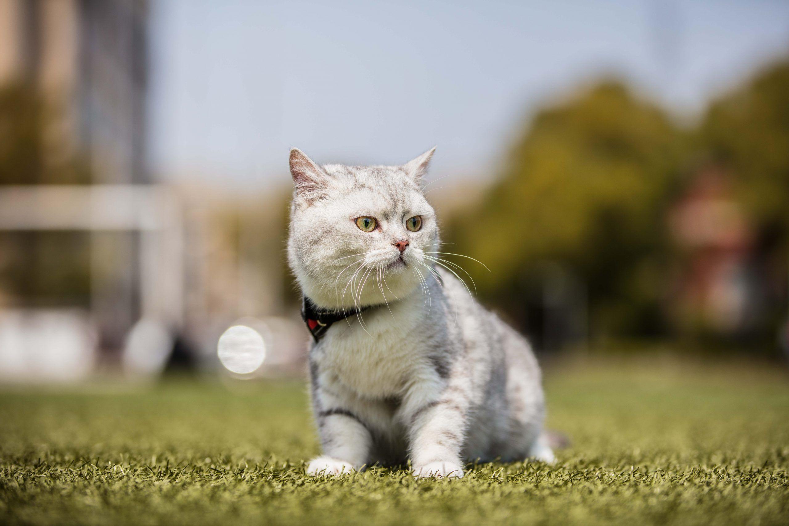 gatos comendo grama