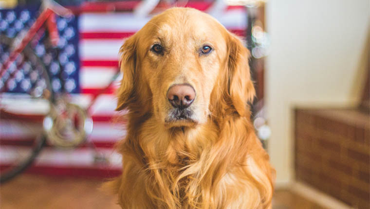Cachorros treinados para farejar coronavírus