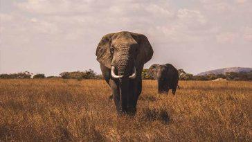 O elefante africano é o maior animal terrestre do mundo