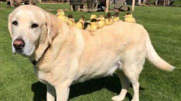 Labrador adotou nove patinhos e os trata como filhotes