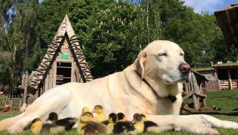 cachorro adota patos