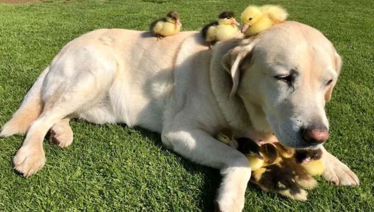 cachorro adotou patos