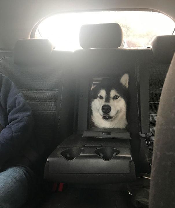 cachorro malamute do alasca