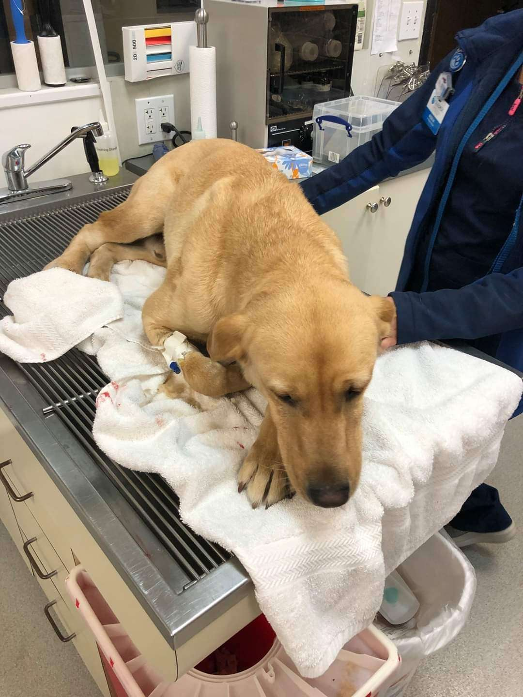 cachorro policial picado por cobra