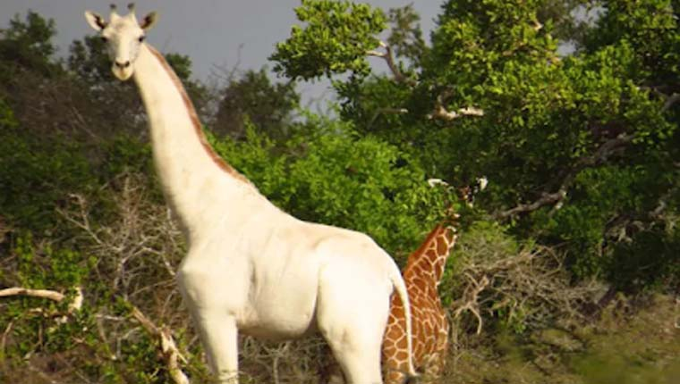 girafa branca rara