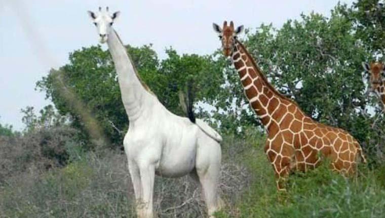girafas brancas raras