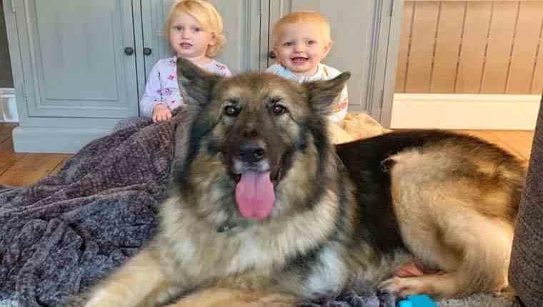 pastor-alemão gigante ama bebês