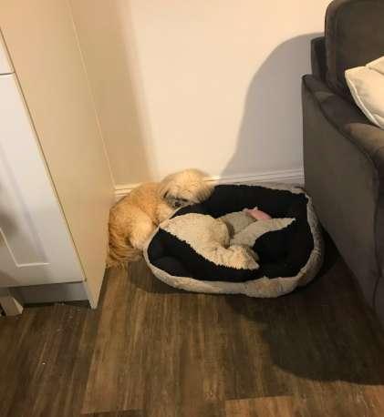 cãozinho se recusa a dormir