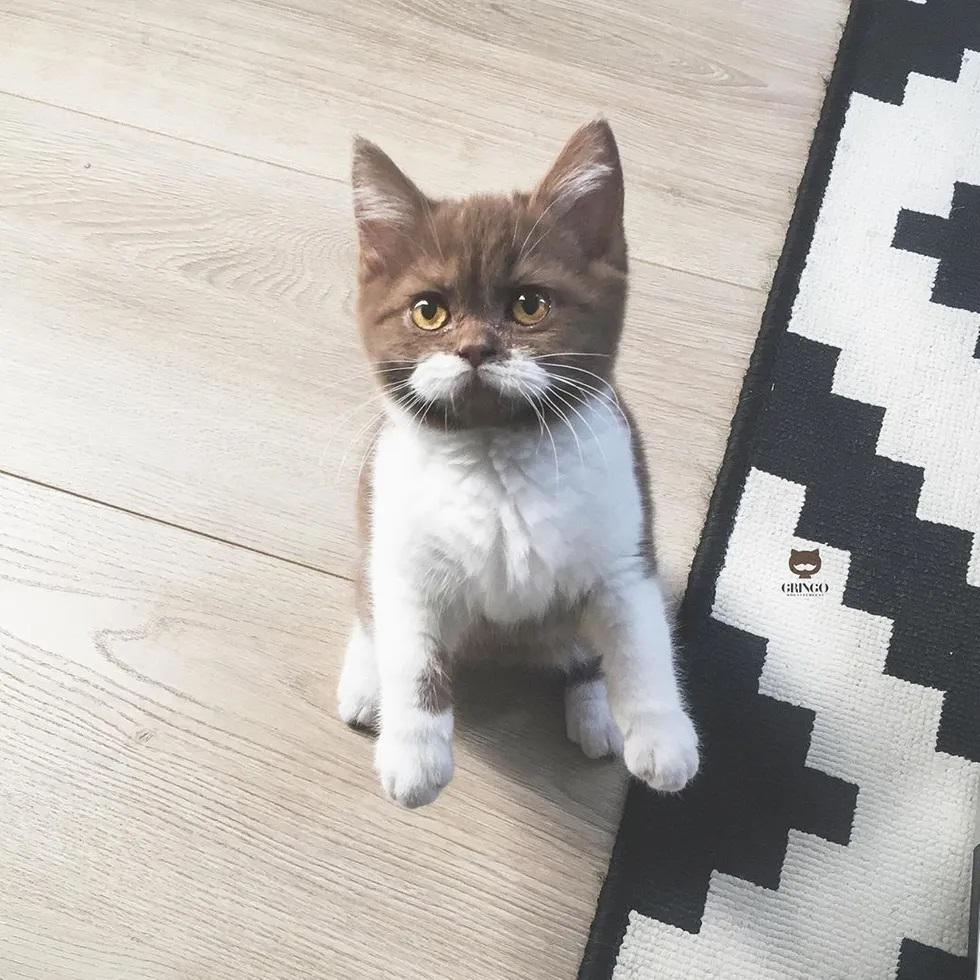 Gato bigode