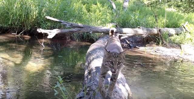 Animais atravessando rio