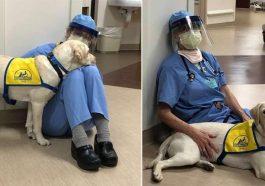 Cão terapeuta conforta médicos e enfermeiros durante crise de coronavírus