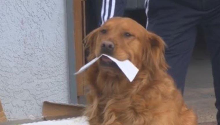 Golden retriever entrega mantimentos para vizinha idosa