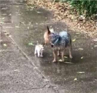 cachorrinha adota gatinho