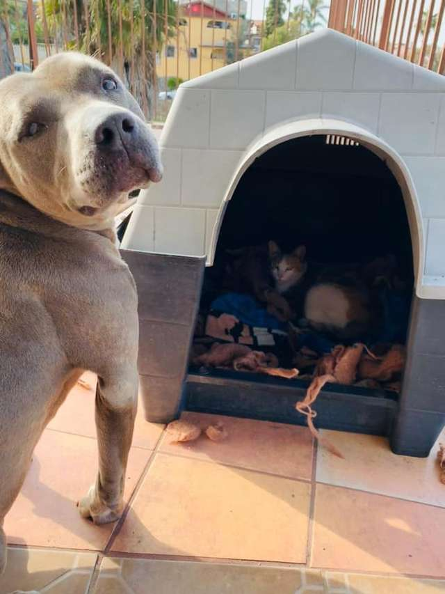 pitbull casinha gata grávida