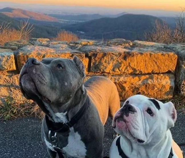 pitbulls amigos