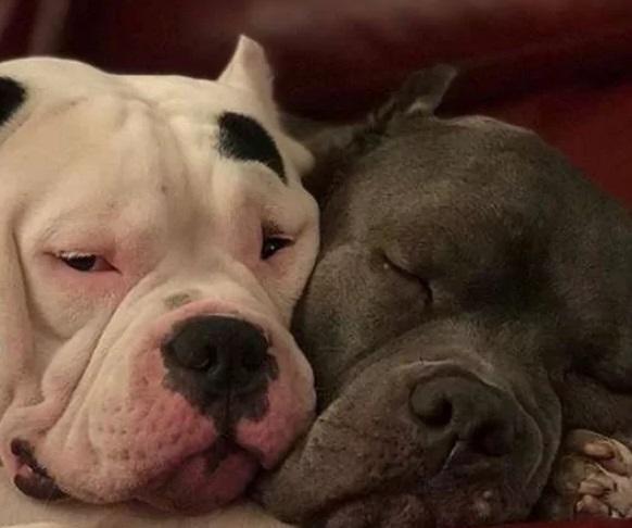 pitbulls se consolam