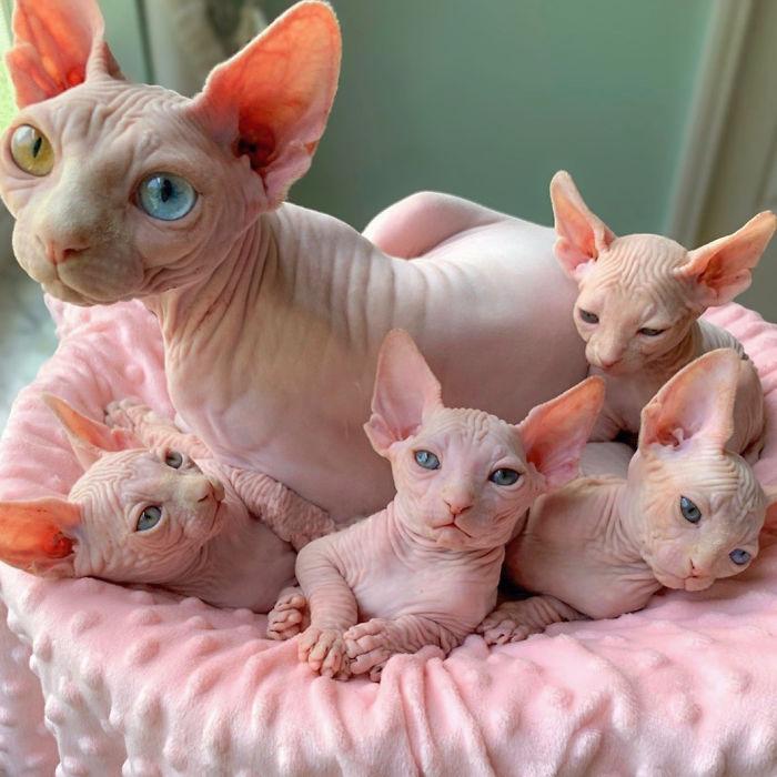 Sphynx gatos