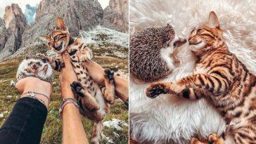 gato bengal e ouriço fotos
