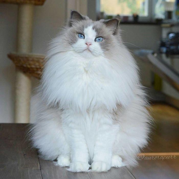 raças de gatos mais bonitos