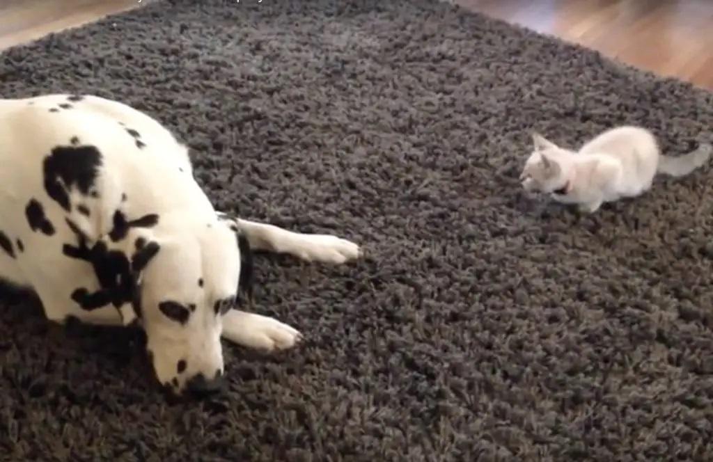 gatinho não deixa dálmata descansar