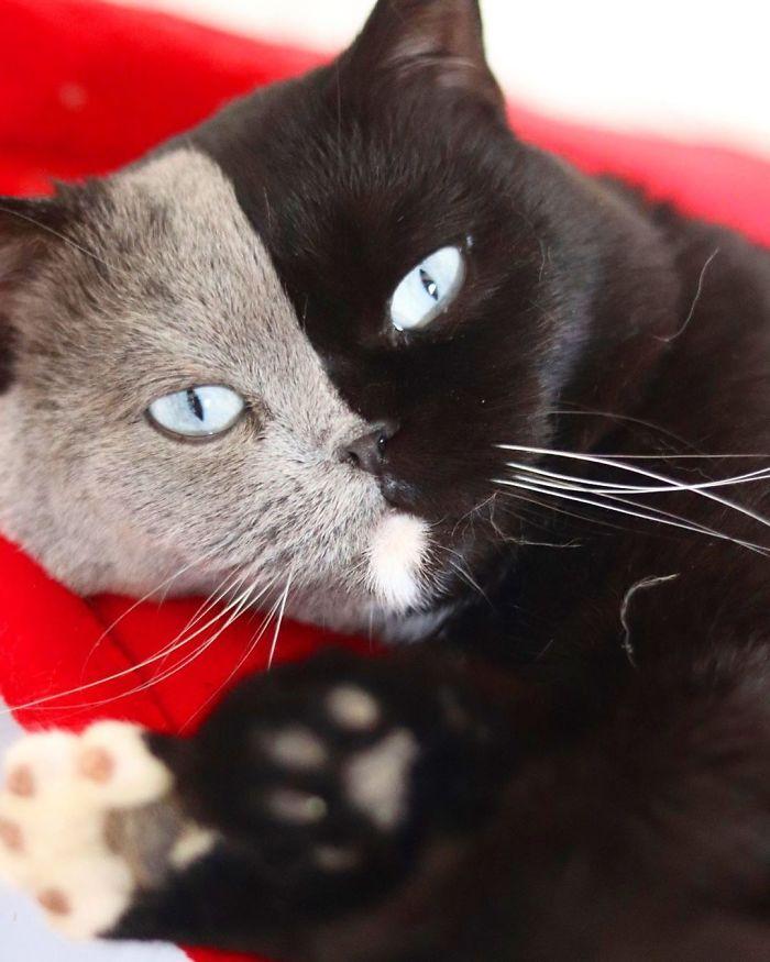 gatinho com rosto dividido cores