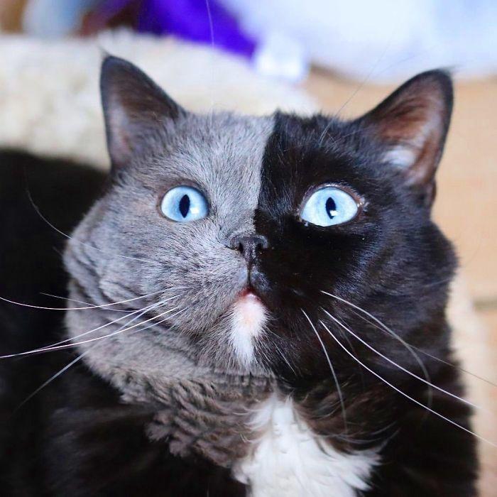 gatos quimerismo