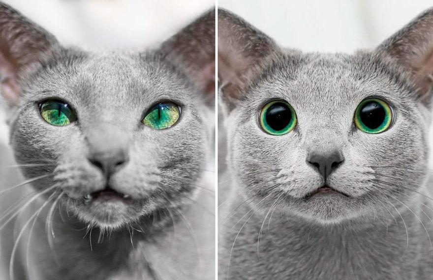 gatas azuis da Rússia olhos