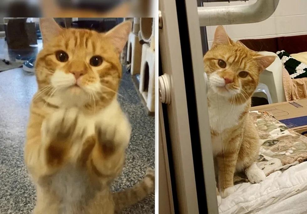 gato acena para visitantes de abrigo para ser adotado
