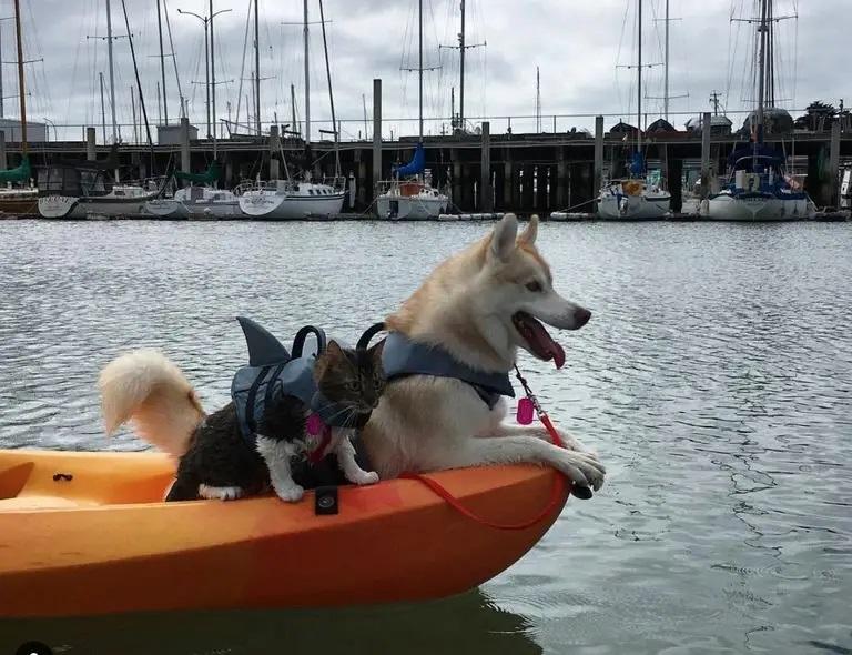 huskies e gata